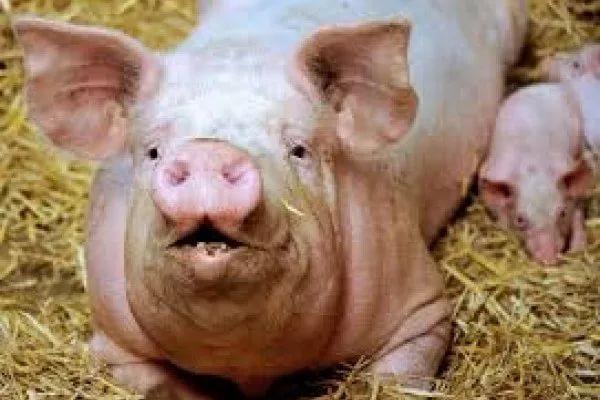 В Китае вырастили свинью в 500 килограмм